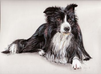 Collie Dog Study